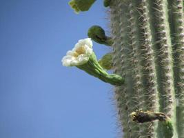 Vue latérale de la fleur de cactus saguaro photo