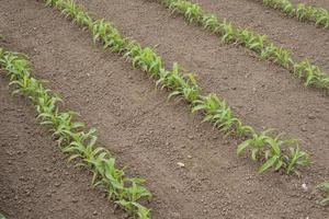 plante de maïs