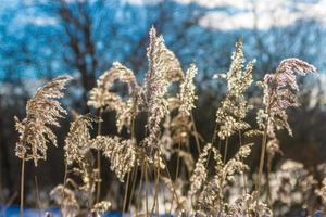 herbe à carex photo