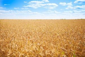 blé d'été photo