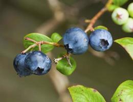 bleuets mûrs sur une branche photo