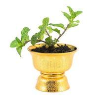 herbe de menthe fraîche en pot photo