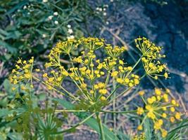 aneth, suwa, herbe de shepu en fleur photo