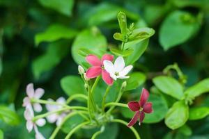 plante grimpante de rangoon. photo