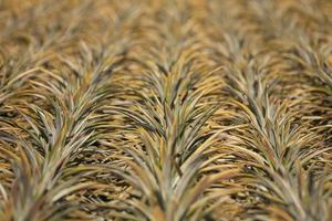 rangées d'ananas de plus en plus photo