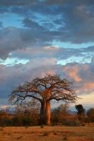 paysage avec baobab photo
