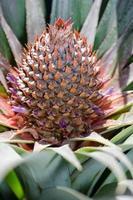 la fleur d'ananas photo