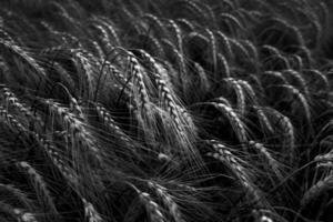 champ de blé noir et blanc photo
