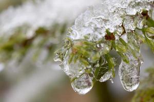 l'hiver. épicéa. neige.
