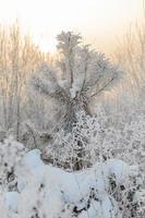 pin d'hiver dans la neige photo