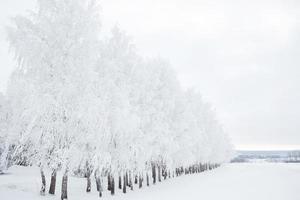 forêt de bouleaux en hiver photo