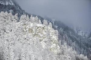 sapins blancs en hiver