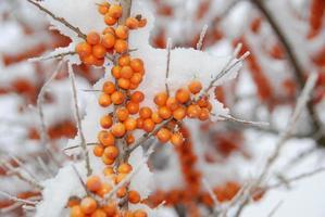 l'argousier en hiver photo