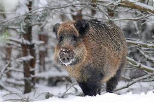 sanglier dans la forêt d'hiver photo