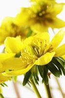 aconite d'hiver, eranthis hyemalis, fleurs photo