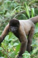 singe laineux en amazone