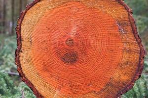Anneaux d'arbre dans le tronc d'un pin d'Orégon photo