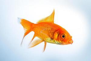poisson rouge (carassius auratus) photo