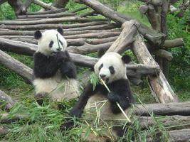 pandas à chengdu, chine photo