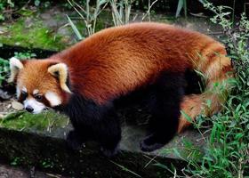 Panda rouge photo