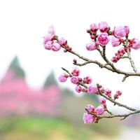 fleur de prunier au début du printemps photo