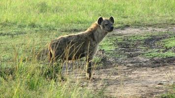 hyène tachetée photo