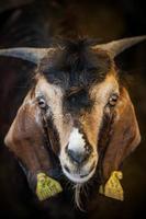 Eid al-adha, kurban bayrami - chèvres au marché aux bestiaux à istanbul. photo