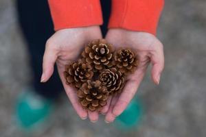 plusieurs pommes de pin dans les mains