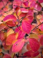 feuilles d'automne rouges à moscou