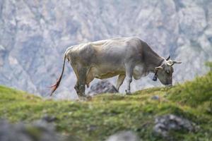 mucca che pascola con campana photo