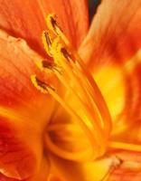 étamines avec pollen liliii orange macro gros plan