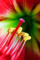 fleur d'amaryllis photo