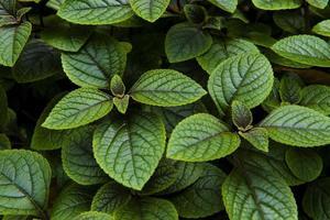 plante de menthe poivrée photo