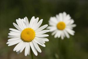 marguerites photo