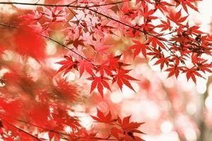 feuilles d'érable automne