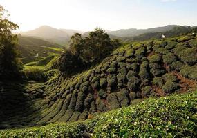 champs de plantation de thé sur les collines photo