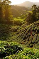 champs de plantation de thé au lever du soleil photo