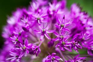 oignon ornemental en fleurs (allium)
