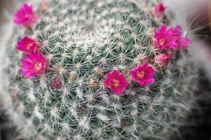 fleur de cactus photo