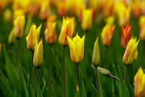 fleurs de tulipe