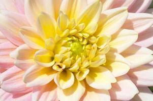 fleurs de dahlia