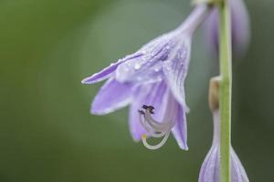 fleurs d'hosta photo