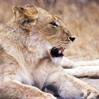 gros plan de lionne