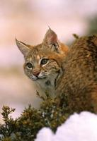 lynx roux bouchent