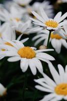 gros plan de chrysanthème