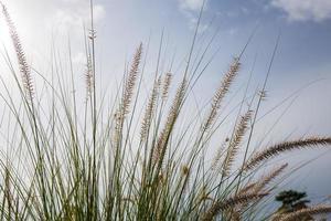 fleur d'herbe se bouchent. photo