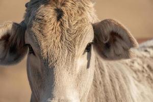 gros plan de vache photo