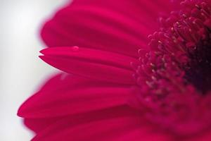 gros plan gerbera photo