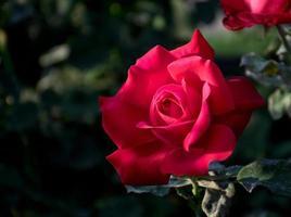 rose gros plan photo