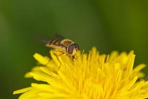 hoverfly bouchent photo
